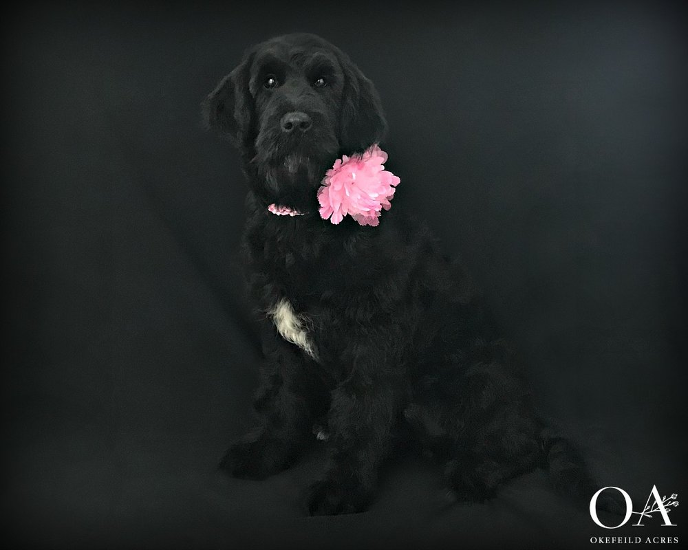 Meet Dawna! - F1 Teddybear Standard Goldendoodle8/26/18UABR RegisteredCoat Color - Black Turning SilverExpected Adult Weight - 65 lbsParents: Meet Deidra | Meet FinneganTemperament TestPuppy Kindergarten Included$2500What a fun and playful girl! Dawna would be the perfect puppy for an active family that loves the outdoors! Happy natured, Dixie is doing very well with her obedience work. She crates quietly, walks on the leash nicely, sits and downs on command and is a dream to groom. A lot of work has gone into this sweet girl, contact Janet to make this lovely girl a part of your home!