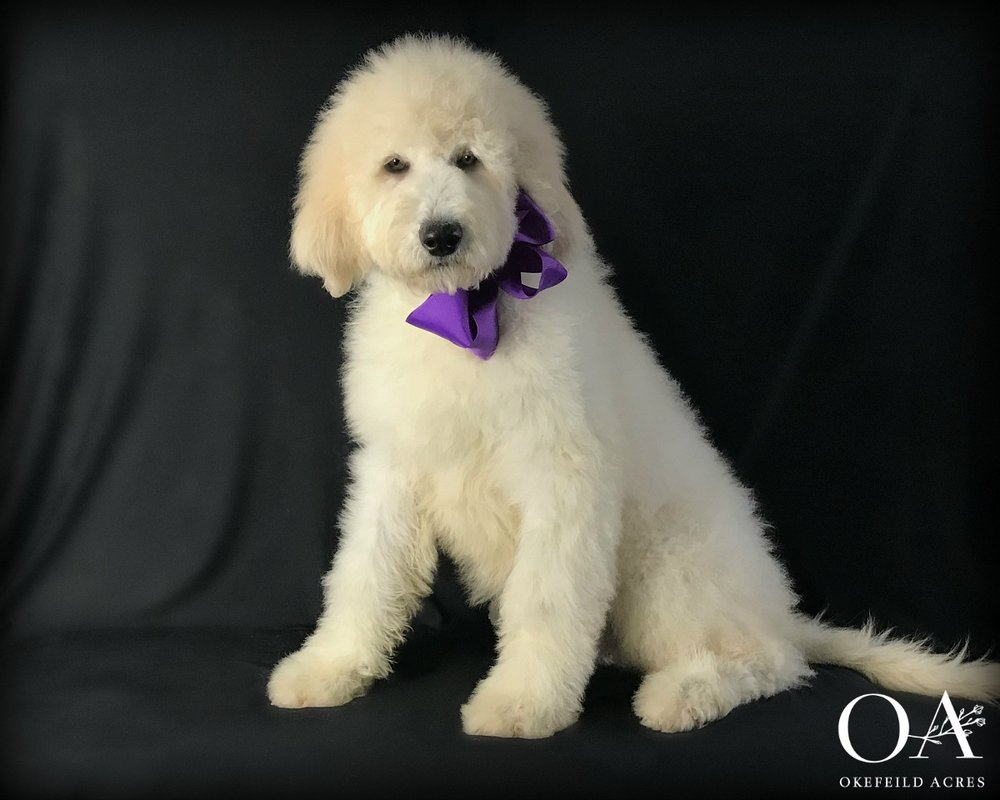 Meet Hailey! - F2 Teddybear Standard GoldendoodleBirthday: 9/28/18Ready: NowGender: FemaleColor: creamAdult Weight: 75 lbsSpayed: YesMicrochipped: YesParents: Meet Holly | Meet DagwoodEnrolled In Extended TrainingTemperament Test$4000What a total sweetheart! Hailey is a fun loving girl that would make an excellent companion for an active family. Hailey is doing very well with her obedience work. She crates quietly, walks on the leash nicely, sits and downs on command and has a loving and happy natured demeanor. A lot of work has gone into this beautiful girl, contact Janet to make this loving puppy a part of your home!