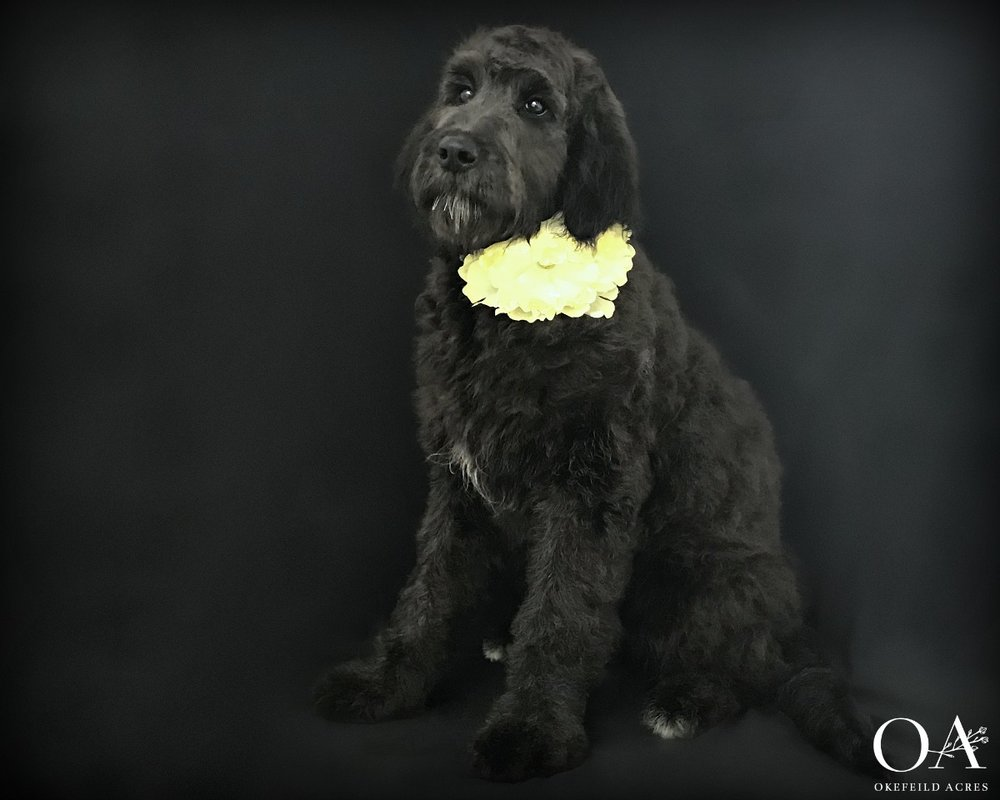 Delia - Available - F1 Teddybear Standard GoldendoodleBirthday: 8/26/18Gender: FemaleColor: SilverAdult Weight 65 lbsSpayed: YesMicrochipped: YesCrates quietly, sits for attention, comes when called, walks nicely on the leash, dog door trained$3000