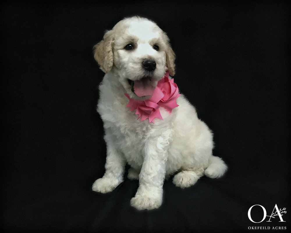 Dionne - AdoptedMeg Colloton - Birthday: 2/07/19Ready: 4/05/19Gender: FemaleColor: Apricot And White PartiCoat Type: Very WavyAdult Weight 65 lbsSpayed: YesMicrochipped: YesParents: Meet Deidra | Meet OreoTemperament TestLitter Growth VideosWhat a loving little girl! Dionne temperament tested as a great companion for someone wanting a happy, playful companion that will love to be by your side! I would recommend her for a family with older children as she does have a bit higher energy. She is responding really well during her training sessions and is being taught to:Stand nicely on the table for groomingCrate quietlyWalk on the leash nicelyCome when calledBeginning sitNo jumping upClimbing up and down stepsExposed to our cats during her outdoor training sessions