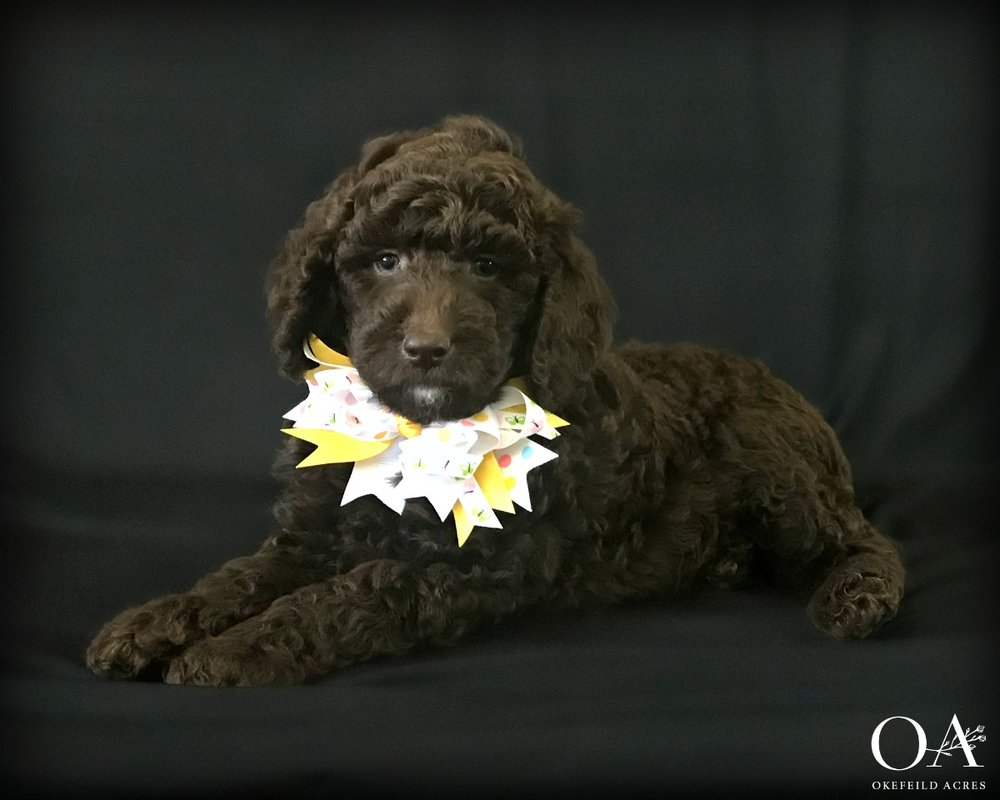 Meet Cecee!Adopted - Birthday: 2/22/19Ready: 4/26/19Gender: FemaleColor: BrownCoat Type: Very WavyAdult Weight 30 - 40 lbsSpayed: YesMicrochipped: YesParents: Meet Cocoa | Meet BerryTemperament TestLitter Growth VideosWhat a lovely and sweet natured little girl! Cecee temperament tested as a possible therapy prospect or great companion for a family with small children. She's a nice mix of cuddly and playful! Cecee shows good attention and loves to interact with people and is also responding really well during her training sessions. This sweet puppy is being taught to:Stand nicely on the table for groomingCrate quietlyWalk on the leash nicelyCome when calledBeginning sitNo jumping upClimbing up and down stepsExposed to our cats during outdoor training sessions