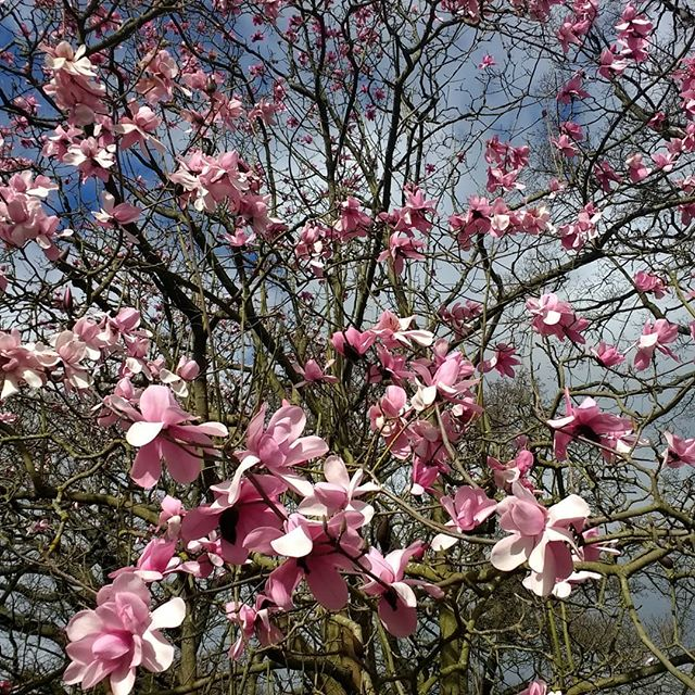 Magnolias at Kew on a blustery Sunday