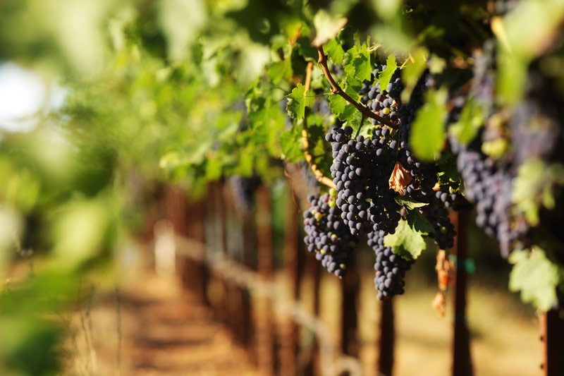 grapes-in-vineyard.jpg
