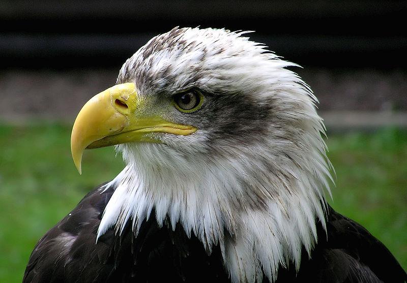 800px-bald-eagle-closeup-arp-sh-750pix.jpg