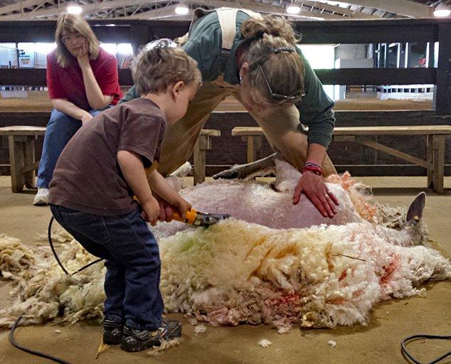 Sheep-Shearing-Weekend-boy-shearing-with-Wendy-634x512_1.jpg