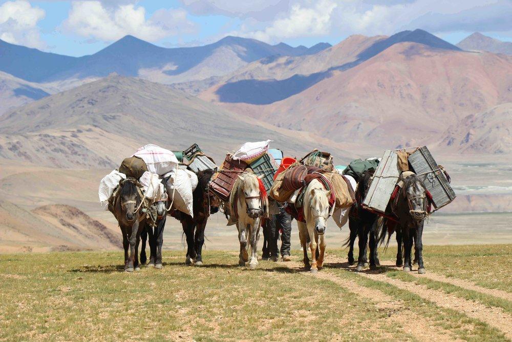 Packhorses on the Rumtze - Tso Moriri Trek in Ladakh, India