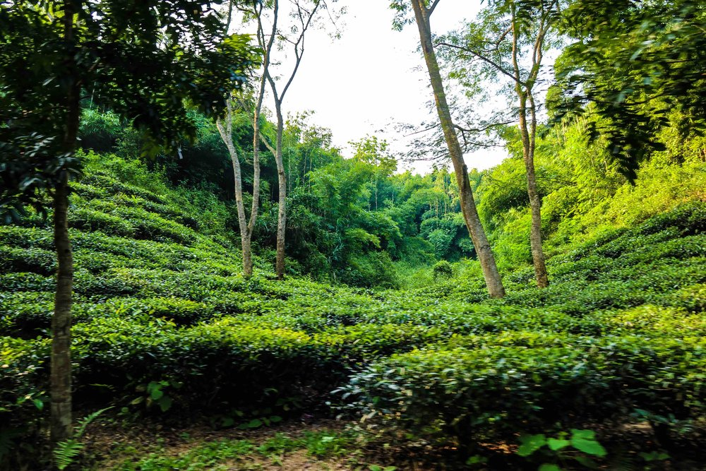 Lush green tea-estates around Sylhet, Bangladesh