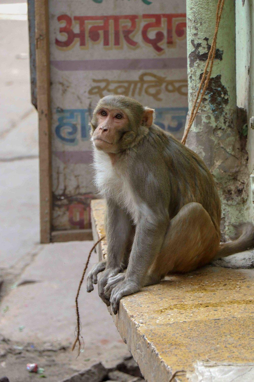 Monkey in Mathura.jpg