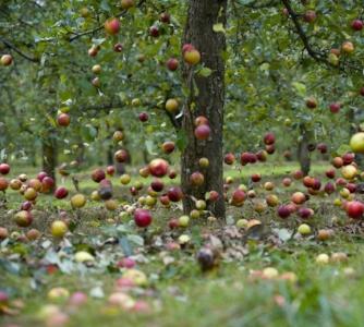 apples-falling.jpg