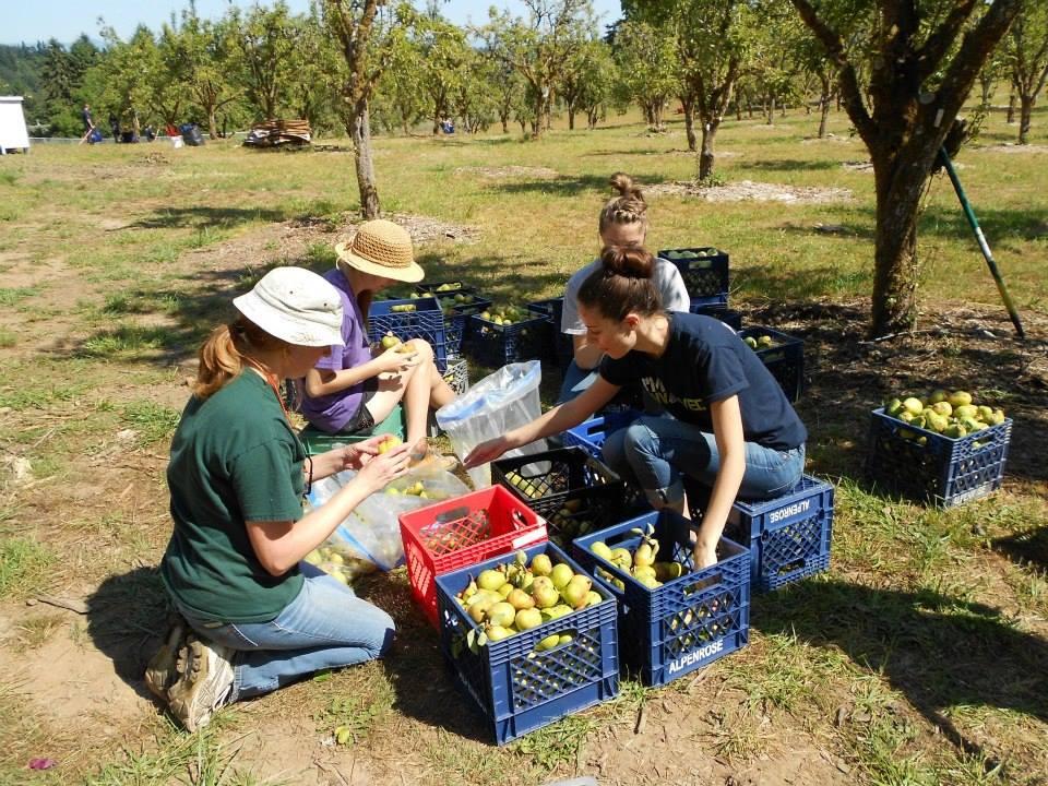 pear harvesting.jpg