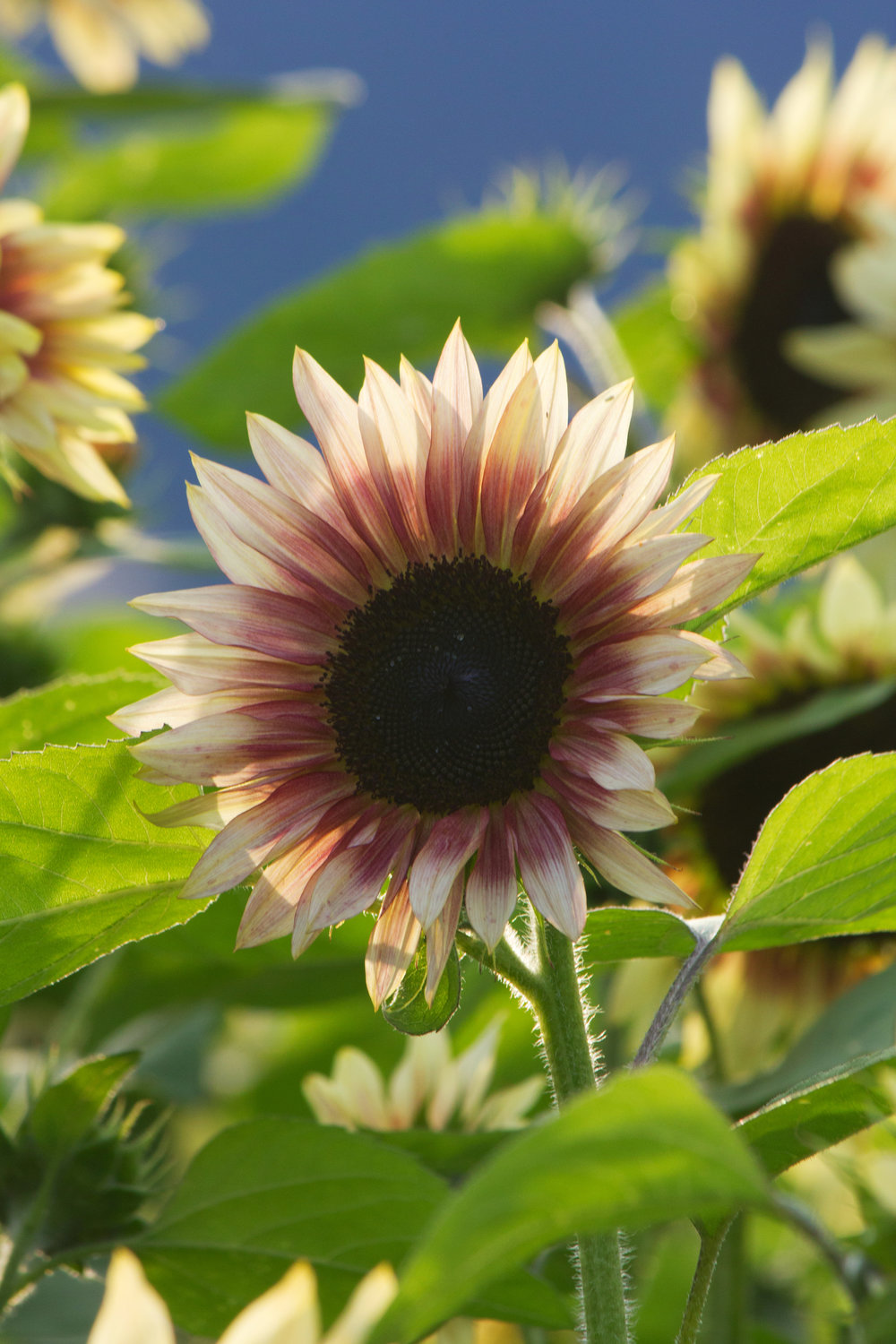 A Visit to the Chilliwack Sunflower Festival by Locally Obsessed