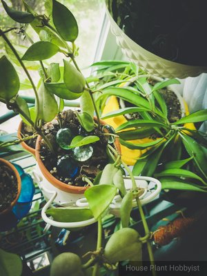 How To Root Hoyas House Plant Hobbyist