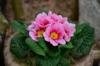 primrose-pink-spring-primroses-family-primulaceae.jpg