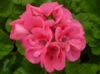 nature-flower-geranium-pink.jpg