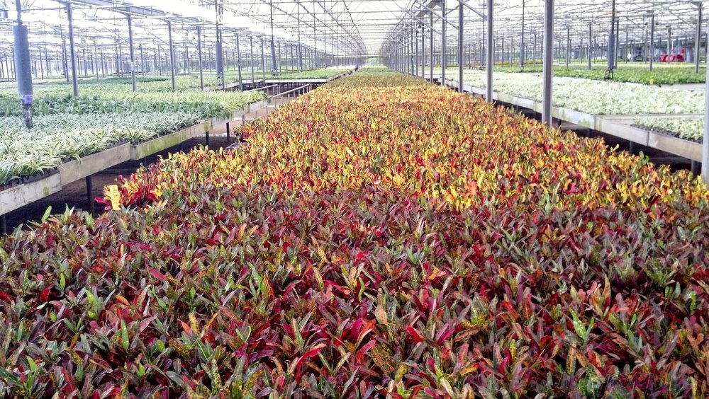 Exotic Angel Crotons.jpg