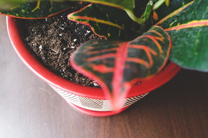 potting mix with croton.jpg