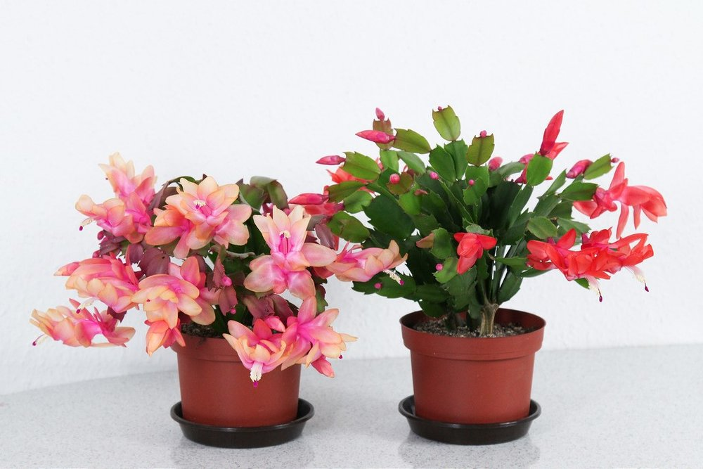 Thanksgiving Cactus1.jpg