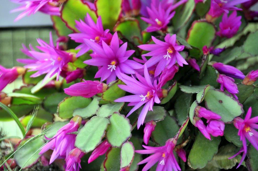 Easter Cactus5.jpg