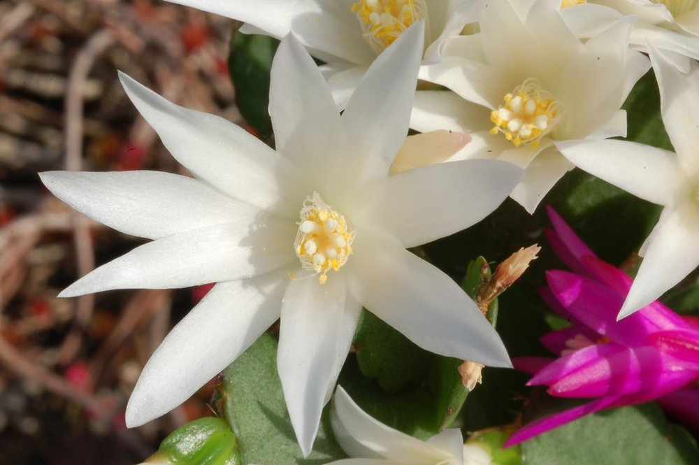 Easter Cactus1.jpg
