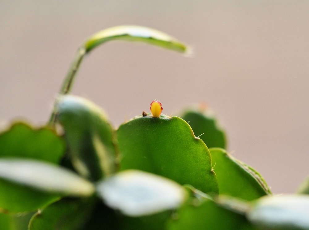 Easter Cactus New Growth.jpg