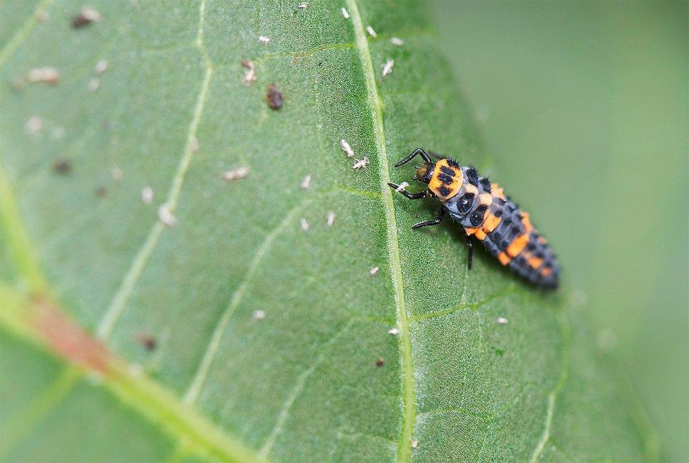 ladybug larvae3.jpg