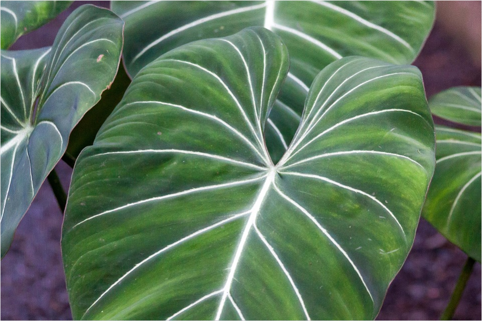 Philodendron gloriosum.png