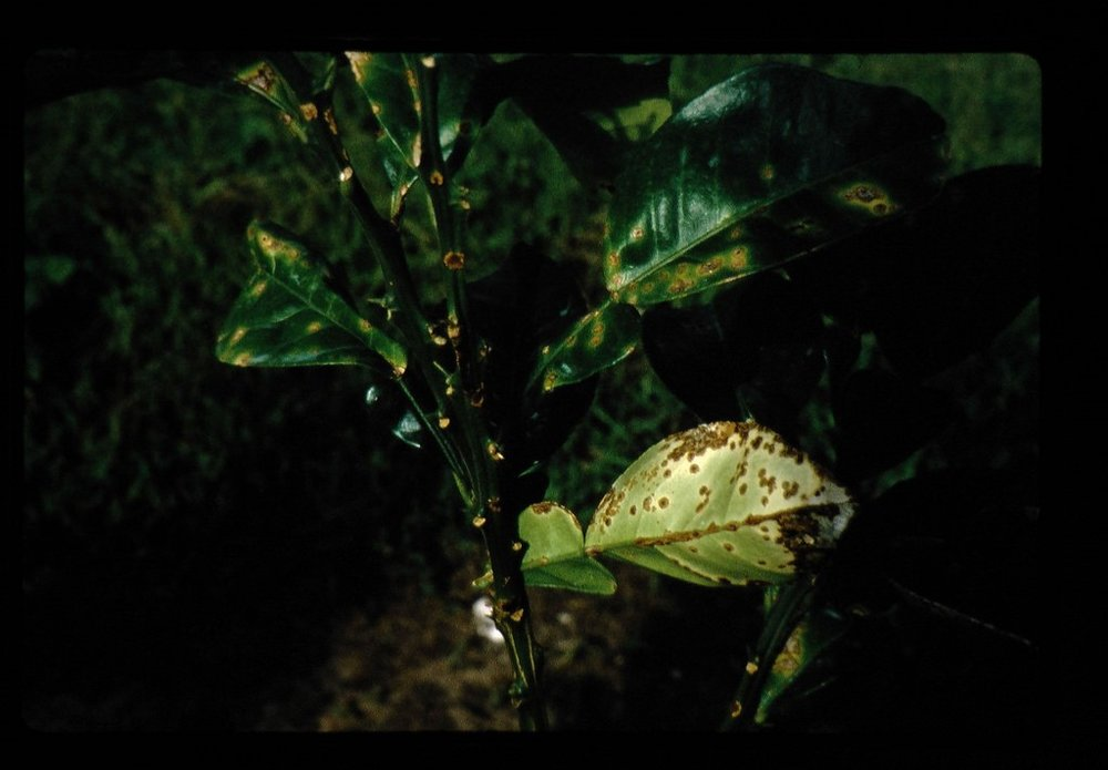 Leaves showing damage from Citrus Canker