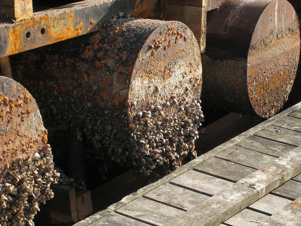 Zebra Mussels encrusting metal