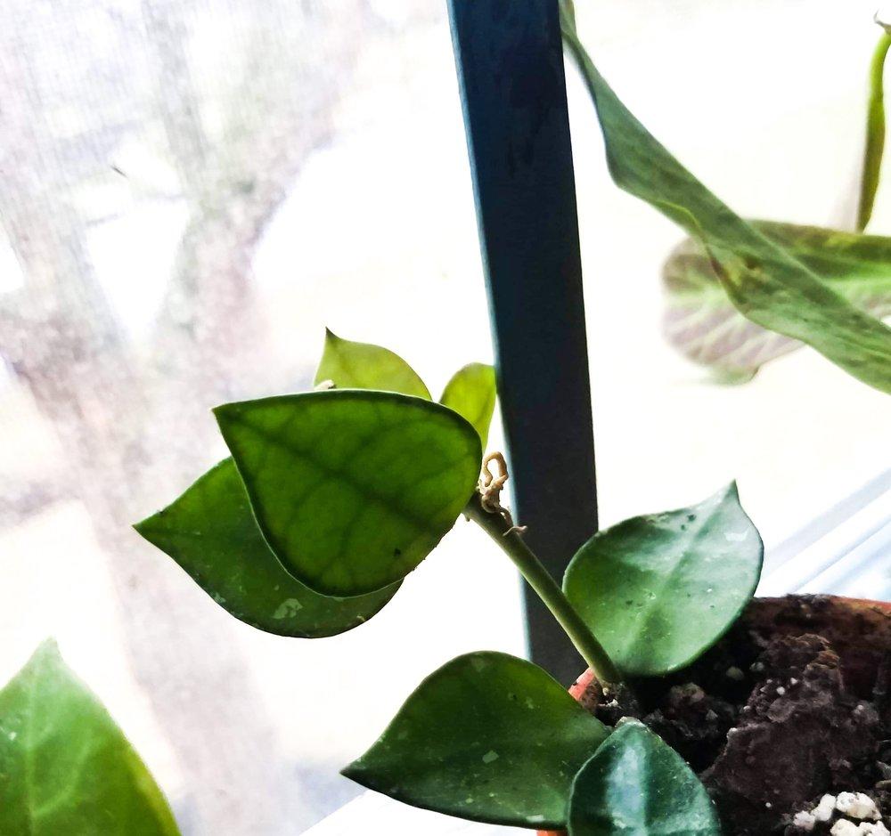 Rooted Hoya krohniana cutting