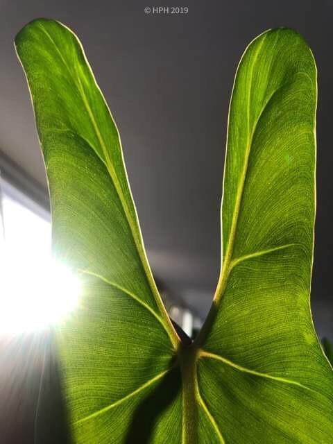Sharkey the Philodendron 'spiritus sancti'
