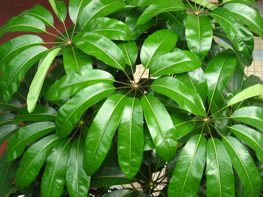scheffactinophylla.jpg