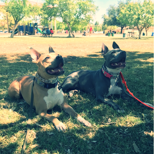 Pit bulls do a down/stay in a Phoenix park during a private training lesson.