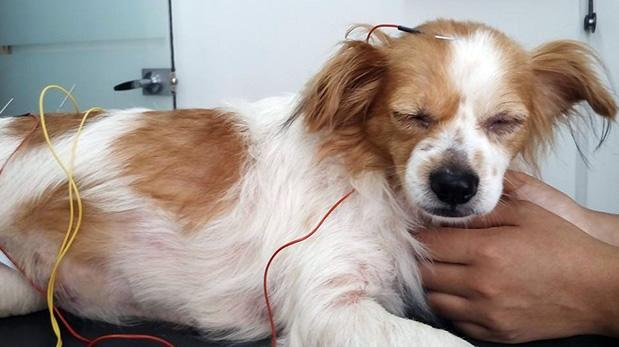 Electro-acupuncture applied on a dog in a wet lab.