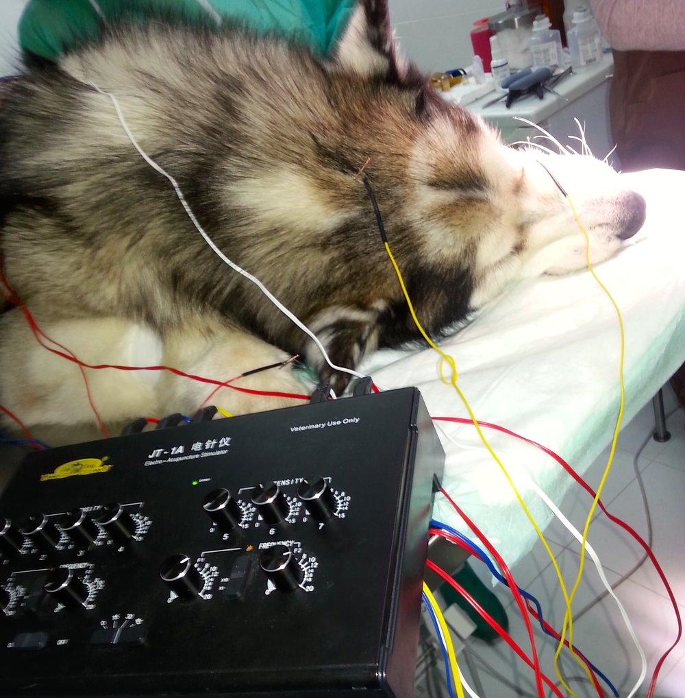 Aplicación de electroacupuntura en cirugías menores de pequeños animales