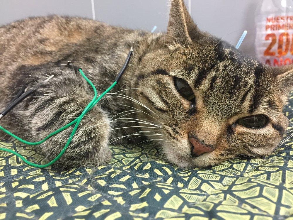 Perfecciona tus tratamientos de acupuntura felina con Lorena LLoret DVM, CTCVMP