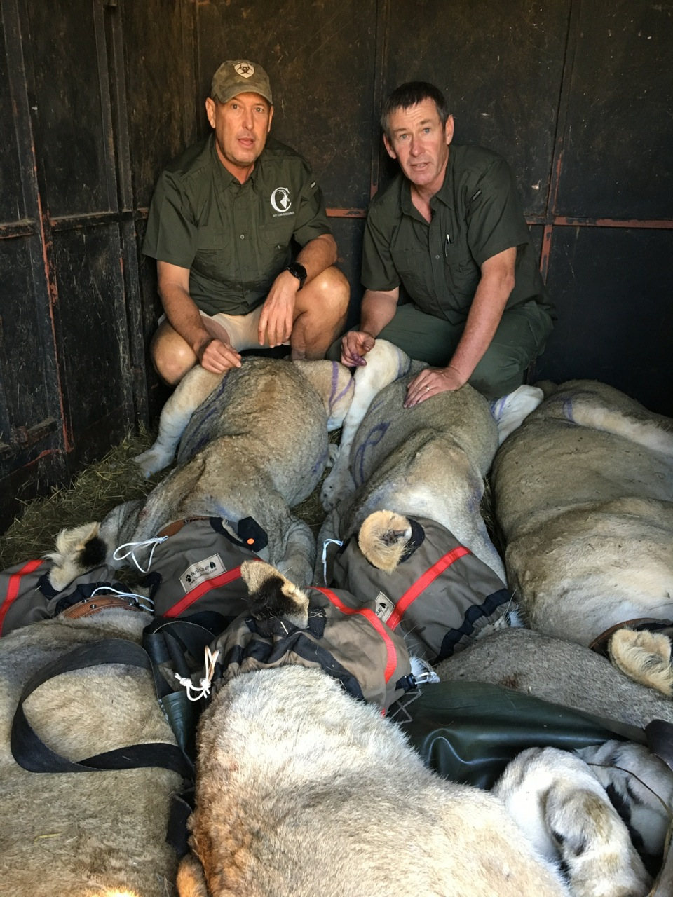 Mark Haldane and Ivan Carter with lions loaded in the trailer and ready to transport to the waiting planes.