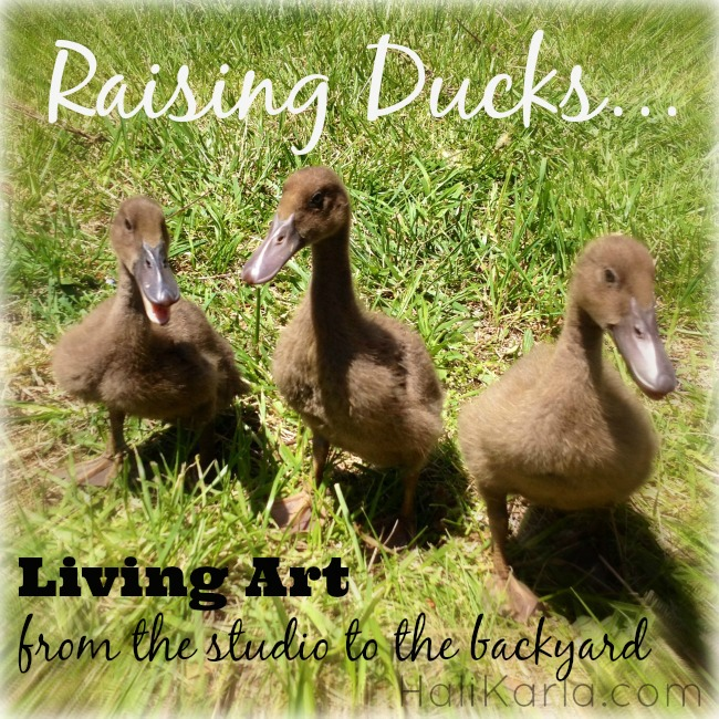 raising ducks, HaliKarla.com