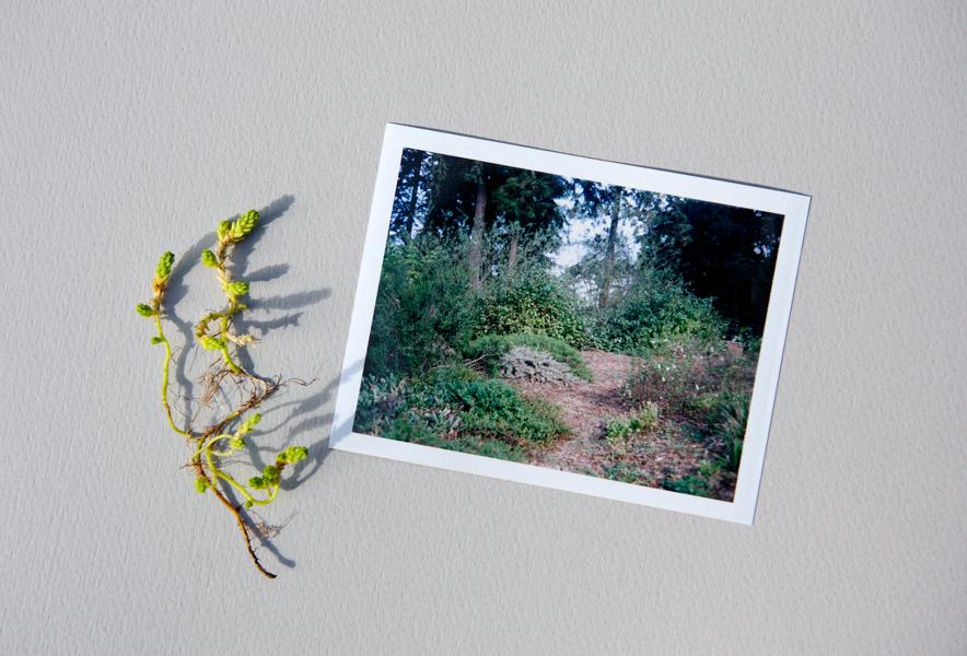 """Sedum stenopetalum Crassulaceae, Worm Leaf Stonecrop, next to a sheet of 4x5 """"polaroid"""" film (Fuji peel-apart instant film)"""
