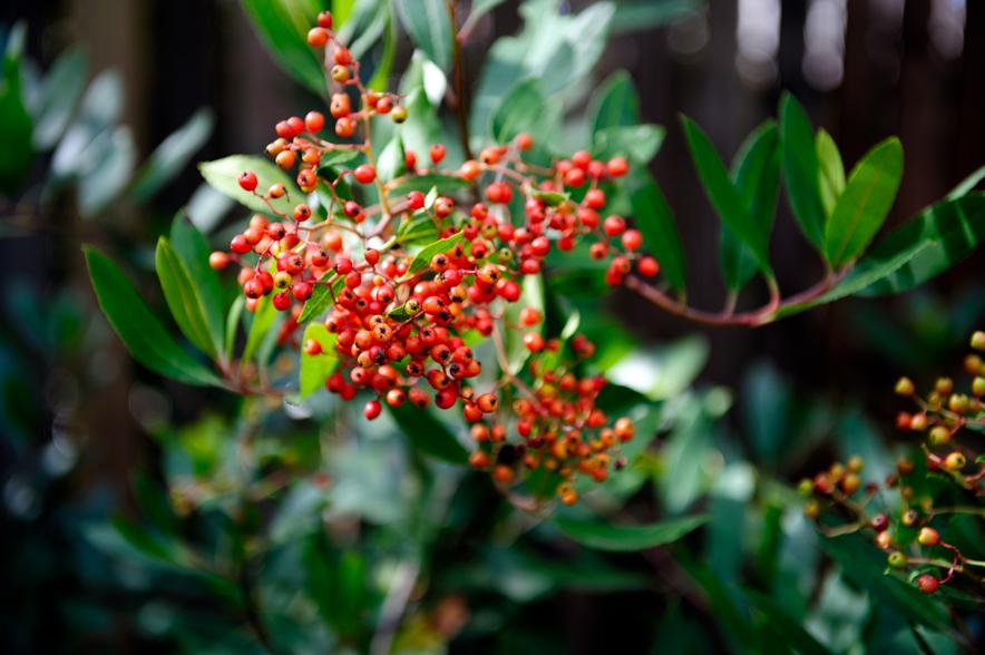 Heteromeles arbutifolia, Toyon