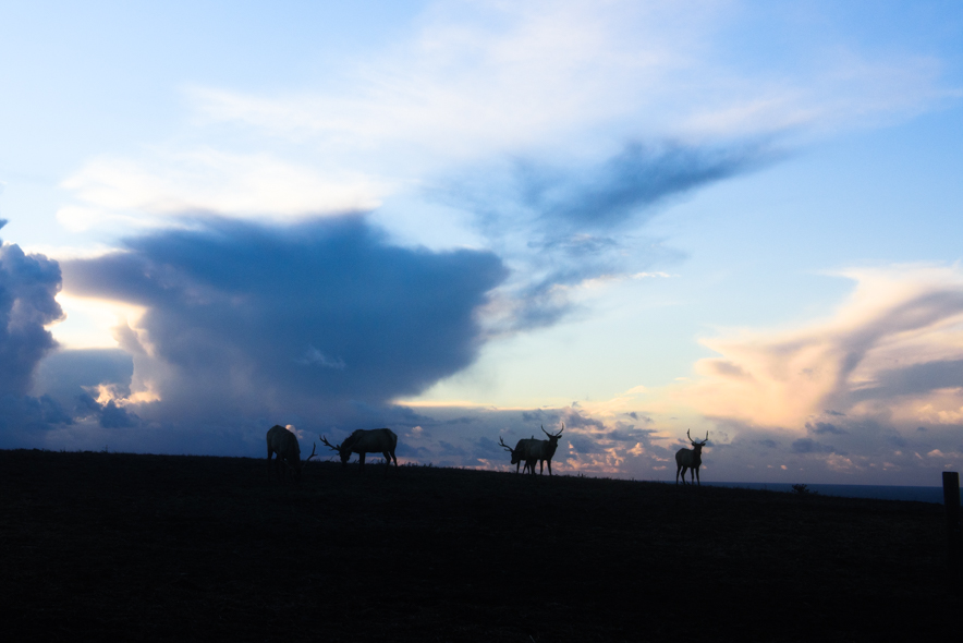 Five Bull Tule Elk and Dramatic Clouds, Near Point Reyes Beach South