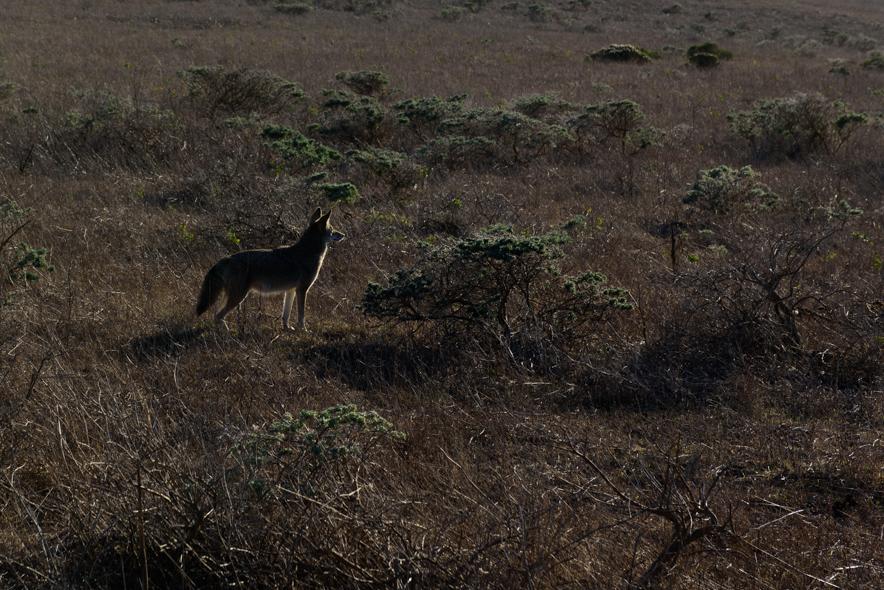 Coyote in Coastal Scrub, Tomales Point