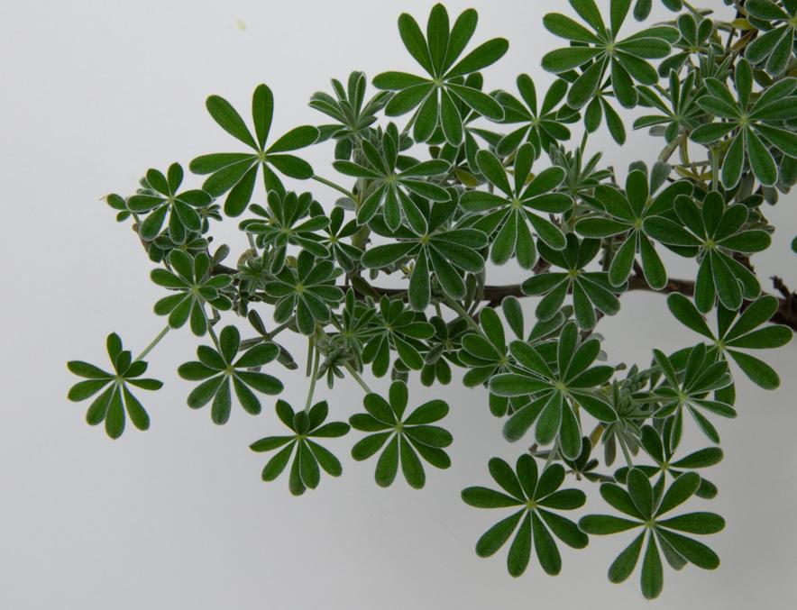 Lupine leaves