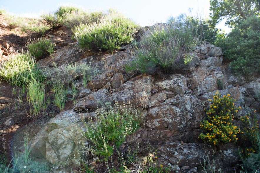 Black Sage and Monkeyflower growing out of a rocky outcrop