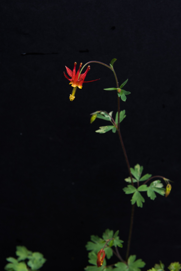 Columbine (right)