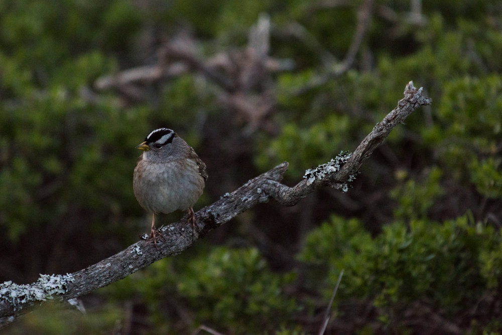 Adult White-crowned Sparrow sitting on lichen covered branch