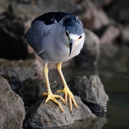 Black-Crowned Night Heron fishing at dawn