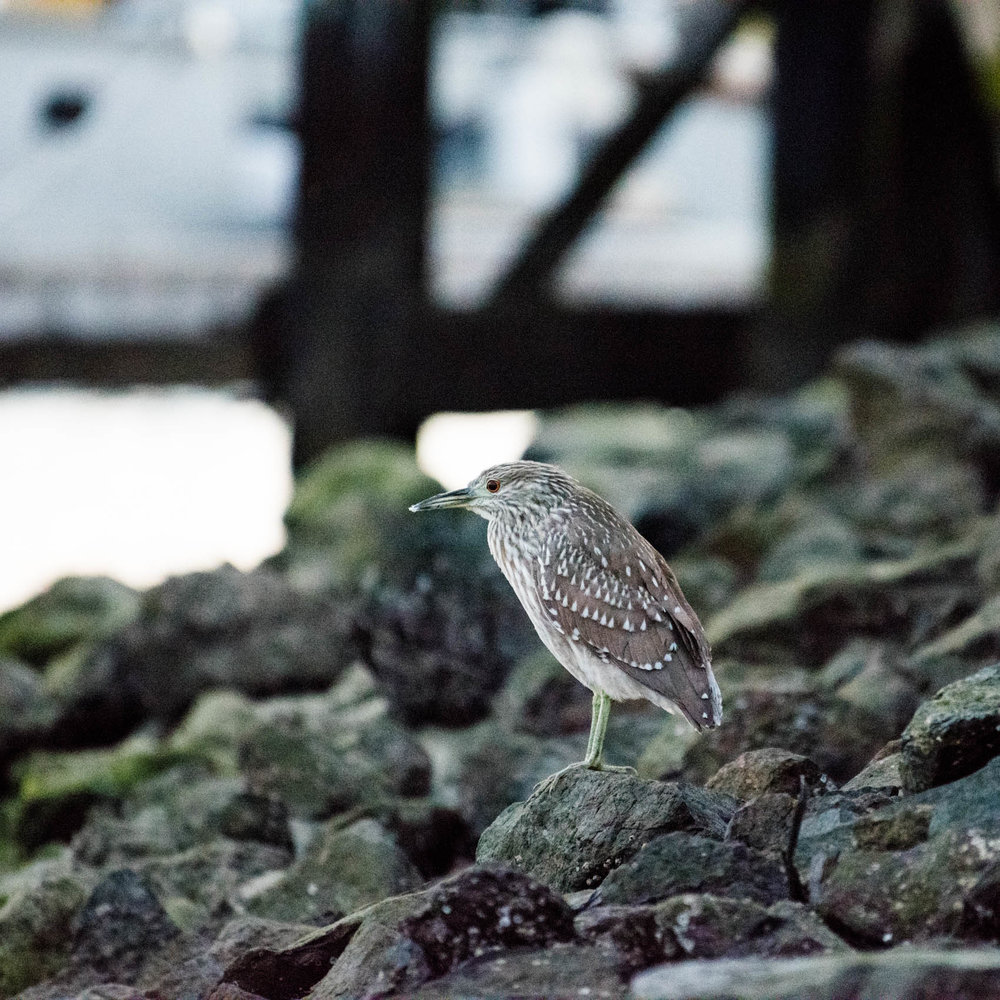 Juvenile Black-crowned Night-Heron (Nycticorax nycticorax)