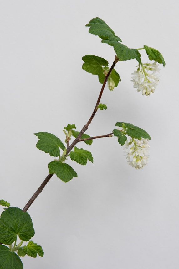 White-Flowering Currant