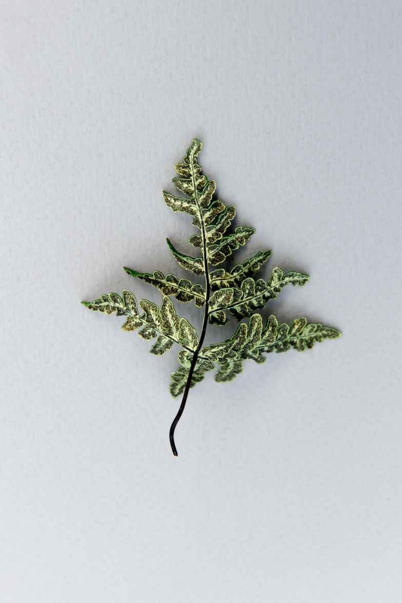 Pentagramma triangularis, Goldback Fern
