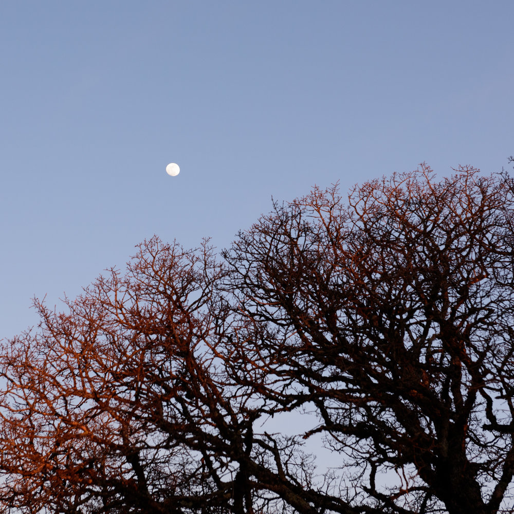 Burgundy-fingered branches reaching for the moon, glowing in the day's last light.
